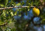 Culinaire Arganolie Voor Smakelijke Maaltijden